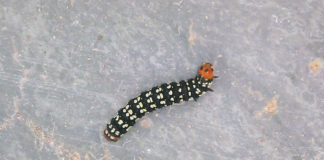 Ejemplar de una oruga cebra. Foto: AMB.