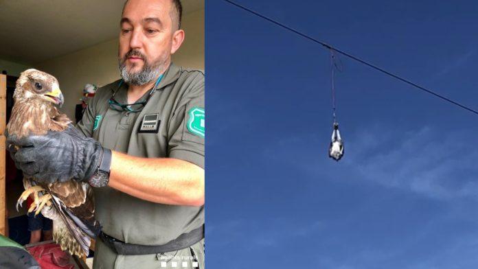 Agentes Rurales y Bomberos rescatan 2 halcones en Gavà.