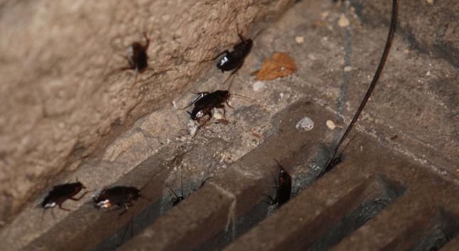 Cucarachas en el alcantarillado.