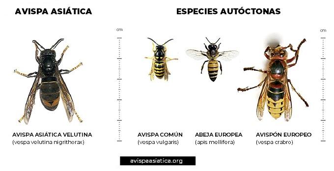 Identificación de la avispa asiática.