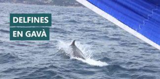 Delfines en la costa gavanense.