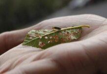 Un ejemplar del escarabajo, sobre una hoja de olmo atacada por el insecto.
