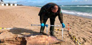 Primer ejemplar de delfín encontrado en la playa de Gavà. Foto: Agents Rurals.