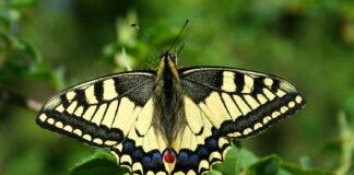 Papilio machaon. Foto: Wikipedia.